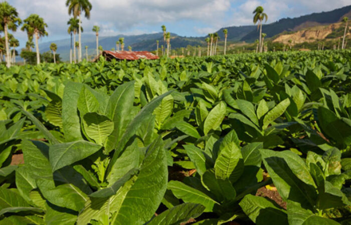 A Virtual Tour of Cigar Factories and Fields